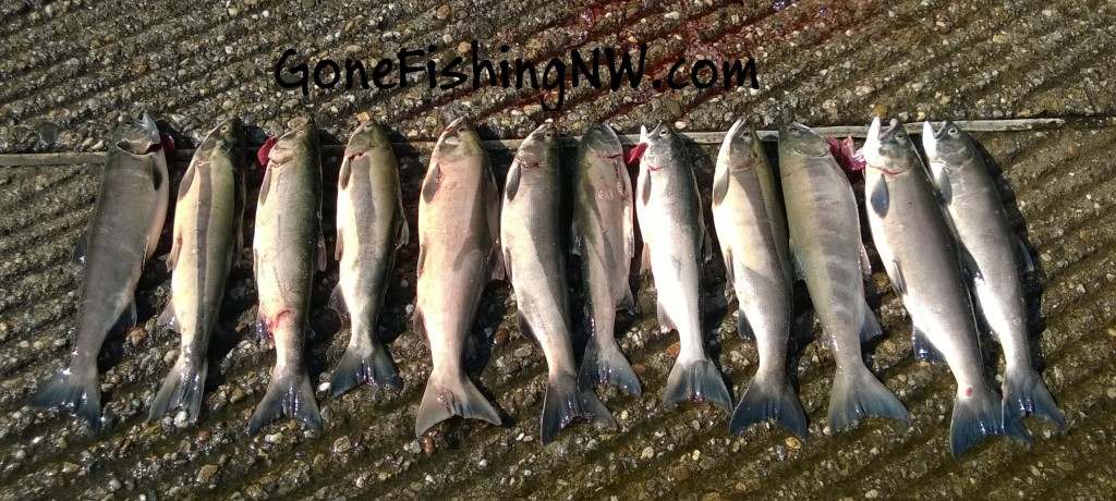 Early August Wenatchee Sockeye