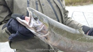 Closeup of Cowlitz Steelhead