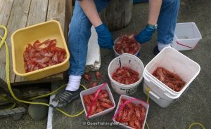 Cleaning buckets of shrimp