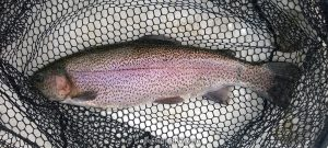 Large Lake Roesiger Trout